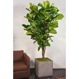 Indoor-Fig-Tree