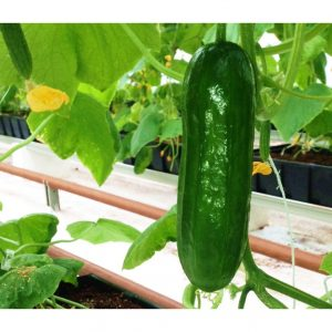 Indoor-Grown-Cucumber